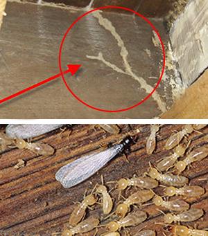 Red circle identifying mud tubes along housing foundation, indicating termite activity. Termites.